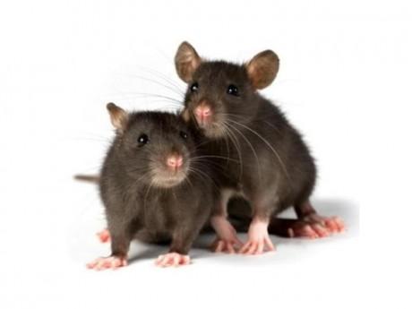foto_ratones